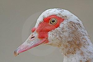 Turkey Duck Stock Photos - Image: 6276773