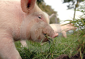 Eating Piglet Close up Stock Photography