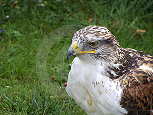 Bird Of Prey Stock Photos - Image: 6282643