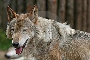 """Smiling"" Wolf Stock Image - Image: 6291521"