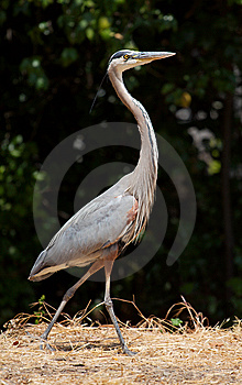 Great Blue Heron Walking Royalty Free Stock Image - Image: 6291656