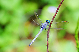 Dragonfly Royalty Free Stock Images - Image: 6291839
