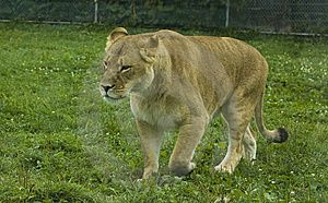 Walking Lioness Royalty Free Stock Image - Image: 6294816
