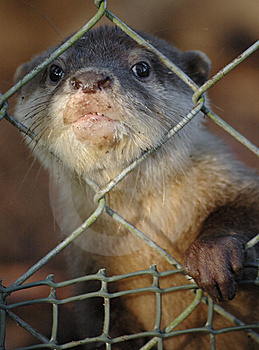 Otter Stock Photos - Image: 6298283