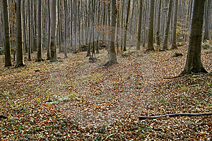 Autumn Beech Forest Stock Image - Image: 6298721