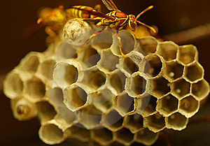 Wasps Royalty Free Stock Photo - Image: 6298885