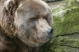 Brown Bear Royalty Free Stock Images - Image: 634269