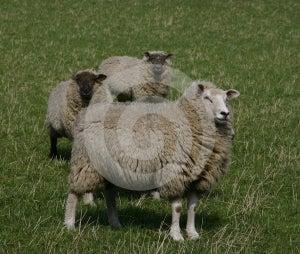 Sheep Stock Photography - Image: 638322