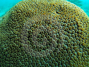 Star Coral Royalty Free Stock Images - Image: 6305189