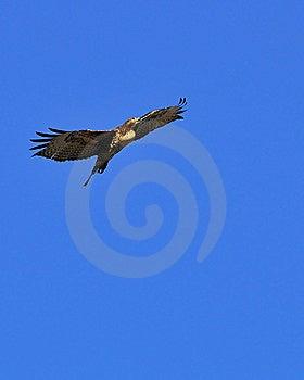 Soaring Redtail Hawk Royalty Free Stock Photos - Image: 6305728