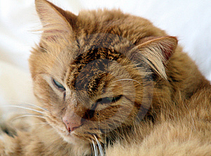 Ginger Cat Royalty Free Stock Image - Image: 6306996