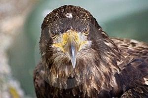 Big Falcon Stock Photos - Image: 6307563