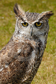 True Or Typical Owl, Strigidae Stock Photos - Image: 6309253