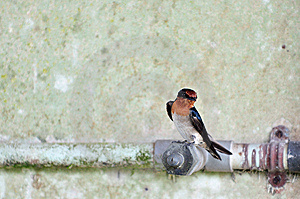 Swallow 3 Stock Photo - Image: 6309970