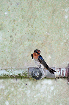 Swallow 4 Stock Image - Image: 6310021