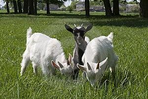 Baby Goats Royalty Free Stock Image - Image: 6312886