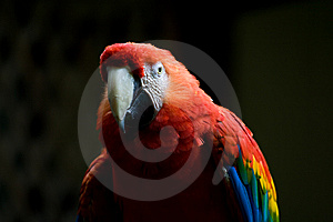Scarlet Macaw Parrot Stock Image - Image: 6314031