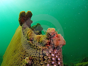 Star Coral Royalty Free Stock Photo - Image: 6316035