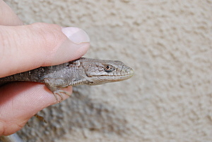 Southern Alligator Lizard Royalty Free Stock Images - Image: 6316449