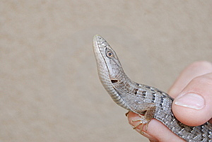 Southern Alligator Lizard Stock Image - Image: 6316451