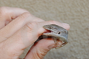 Southern Alligator Lizard Bite Stock Photography - Image: 6316462