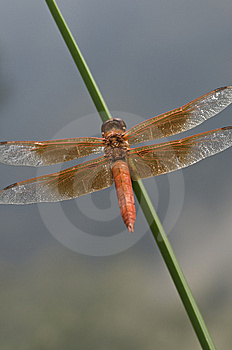 Dragon Fly Royalty Free Stock Images - Image: 6323479