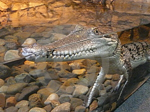 Crocodile Freshwater In Simulated Habitat. Stock Photo - Image: 6328220