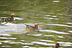 Mandarin Duck Stock Images - Image: 6328974