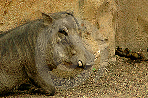 One Warthog Royalty Free Stock Photo - Image: 6331355