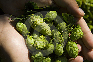 The Flat Hand With Hop Royalty Free Stock Photography - Image: 6341647