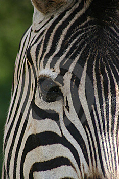 Zebragesicht Lizenzfreie Stockfotos - Bild: 6342908