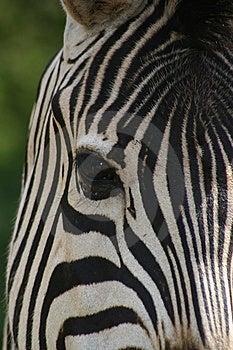 Zebra Face Royalty Free Stock Photos - Image: 6342908