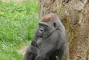 Big Gorilla Is Looking Mean Royalty Free Stock Photo - Image: 6347885