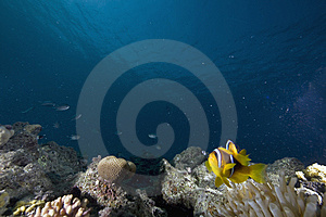 Red Sea Anemonefish (Amphipiron Bicinctus) Royalty Free Stock Photo - Image: 6350795