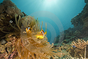 Red Sea Coralgrouper (plectropomus Pessuliferus) Royalty Free Stock Photography - Image: 6351687