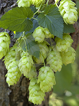 Hop Cones Royalty Free Stock Photos - Image: 6351878