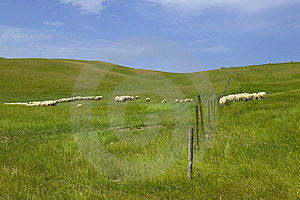 Tuscany Countryside, Sheeps Royalty Free Stock Image - Image: 6353006