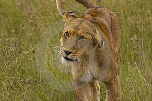Lioness Royalty Free Stock Photography - Image: 6358317