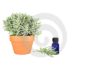 Herb Lavender Royalty Free Stock Photo - Image: 6363125