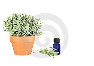 Herb Lavender Royalty Free Stock Photo - Image: 6363125