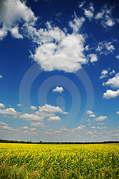 Sunflowers And Blue Sky Stock Image - Image: 6372941