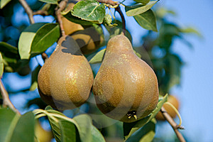 Juicy Pears Royalty Free Stock Photo - Image: 6380385