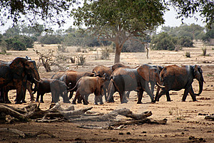 African Elephants Stock Photo - Image: 6387080