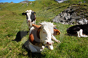 Alp Cows Royalty Free Stock Image - Image: 6388116