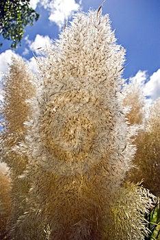 Papas Grass Seed Head Stock Photos - Image: 6392183