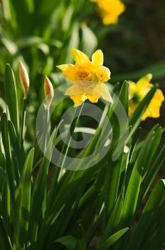 Daffoil Garden Stock Photo