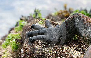 Claws Of A Marine Iguana Stock Photos - Image: 6402993