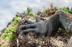 Claws Of A Marine Iguana Stock Photos - Image: 6402993