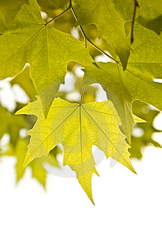 Autumn Leaves Over White Royalty Free Stock Photography - Image: 6404247