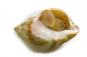 Single Cooked Shell Stock Photo - Image: 6405390